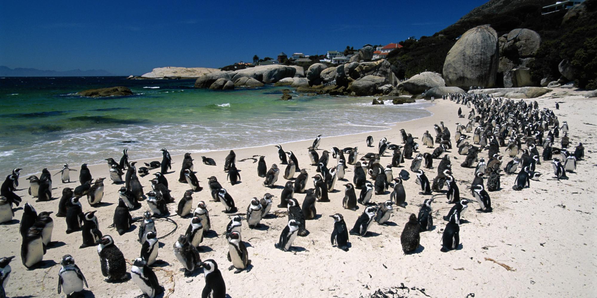 Pingvīnu pludmale Dienvidāfrikā
