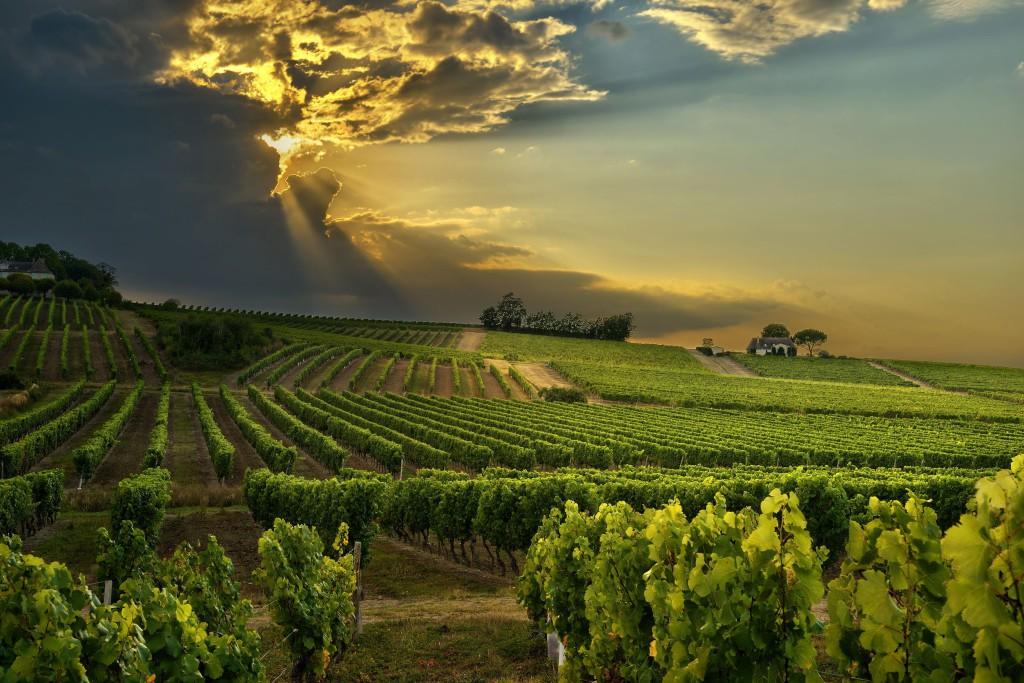 Vīna lauki Dienvidafrikā